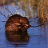 beaver_eating_twig